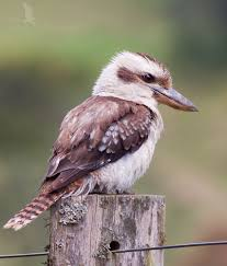 kookaburra-11