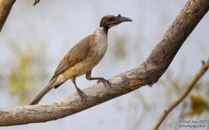 noisy-friarbird-philemon-corniculatus-au-nofb-03-cunnamulla-qld-oct-2013-l