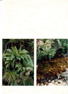 Blechnum Ferns